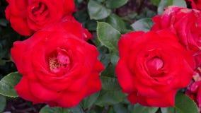开花的玫瑰在一个晴朗的夏日 库存照片