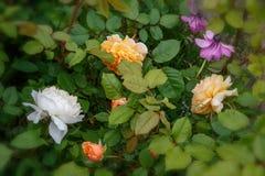 开花的玫瑰在庭院里在一个晴天 大卫奥斯汀罗斯番红花罗斯和玛格丽特公主 库存照片