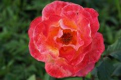 开花的玫瑰特写镜头察觉与名胜 库存图片