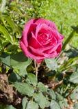 开花的玫瑰色猩红色 免版税库存照片