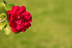 开花的玫瑰色花在庭院里 库存图片