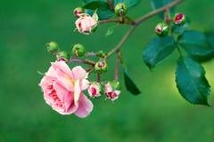 开花的玫瑰色花在庭院里 免版税库存图片
