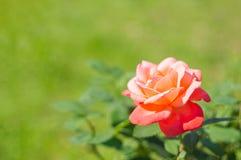 开花的玫瑰色花在庭院里 库存照片
