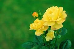 开花的玫瑰色花在庭院里 免版税库存照片