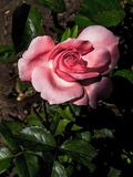 开花的玫瑰 桃红色花 免版税图库摄影