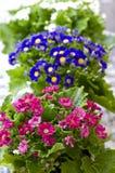 开花的瓜叶菊 库存照片