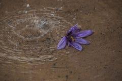 开花的番红花一朵花在雨中 库存图片