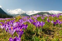 开花的番红花地毯在chocholowska谷的在tatra moun 免版税库存图片