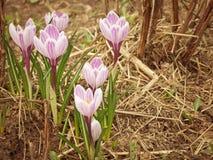 开花的番红花是其中一朵第一朵春天花 库存图片