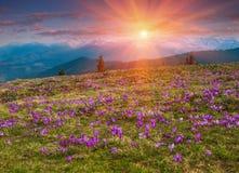 开花的番红花草甸的全景在山的 免版税库存照片
