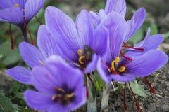 开花的番红花,小组花 免版税库存图片