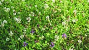 开花的白三叶草花田在庭院里晴天 股票视频