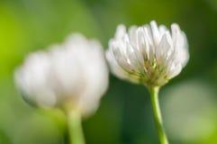 开花的白三叶草 库存图片