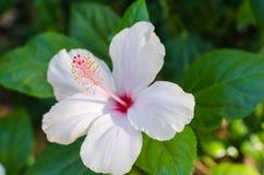 开花的白百合花蕾百合属植物Samur,timelapse英尺长度 r 免版税图库摄影