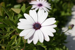 开花的白色和紫罗兰色花 库存照片