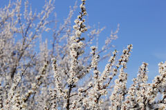 开花的白色庭院 免版税库存照片