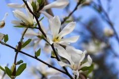 开花的白色木兰 免版税库存图片