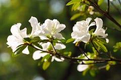 开花的白色杜娟花杜鹃花 库存图片