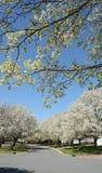 开花的白色树在晴朗的春日 图库摄影