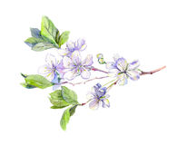 开花的白色樱桃树开花,日语佐仓,水彩 免版税库存图片
