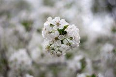 开花的白色樱桃树 库存图片