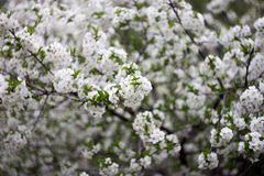开花的白色樱桃树 免版税库存照片