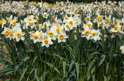 开花的白色水仙领域 免版税库存图片