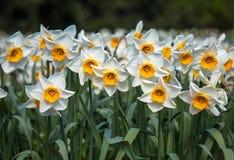 开花的白色水仙领域 免版税库存照片