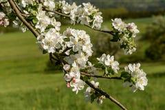 开花的白色苹果在树, Baden Wuttenberg开花 免版税图库摄影