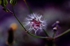 开花的白色蒲公英花 库存图片