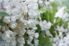 开花的白色金合欢分支  库存照片