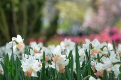 开花的白色黄水仙水仙在公园 特写镜头,精选 库存照片