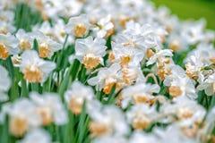 开花的白色黄水仙水仙在公园 特写镜头,精选 免版税库存照片