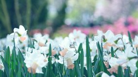 开花的白色黄水仙水仙在公园 特写镜头,被定调子 库存照片
