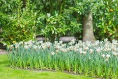 开花的白色黄水仙水仙在公园 库存照片