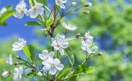 开花的白花在春天樱桃枝杈 图库摄影