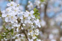 开花的白花在春天樱桃枝杈 库存照片