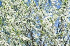 开花的白花在春天樱桃枝杈 免版税库存照片