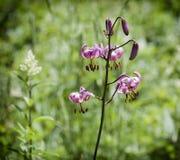 百合属植物martagon的图片 免版税库存照片