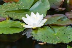 开花的百合水白色 库存照片