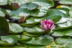 开花的百合池塘 库存照片