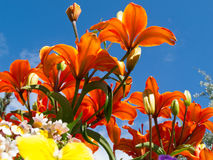 开花的百合百合属植物sp gardenbed低角度射击 免版税图库摄影