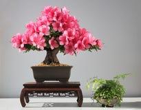 开花的盆景杜娟花 图库摄影