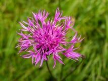 开花的矢车菊在夏天 免版税图库摄影