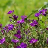 开花的矮小的紫色高山植物在绿色背景中 免版税库存图片