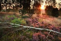 开花的石南花在桦树森林里 免版税图库摄影