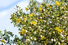 开花的石炭酸灌木(灌木tridentata)反对天空 免版税图库摄影