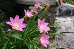 开花的神仙的百合花在庭院里 免版税库存图片
