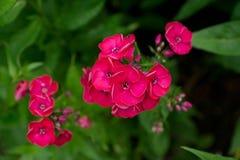 开花的福禄考在庭院里 库存照片