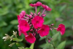 开花的福禄考在庭院里 免版税图库摄影
